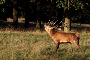 Roaring stag