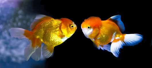 Two Goldfish face-to-face, color with aquarium display lighting.