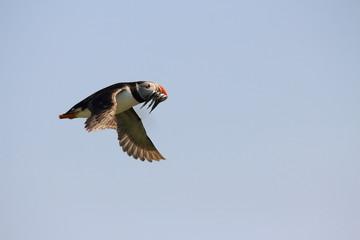 pulcinella di mare uccello marino in volo isole farne