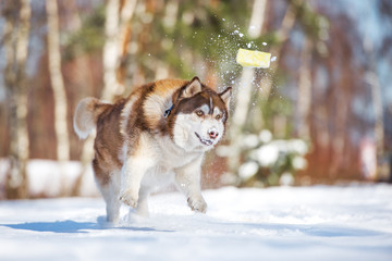 siberian husky dog playing in winter