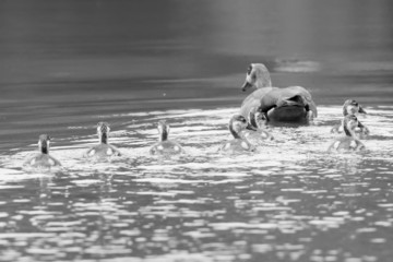 Egyptian goose family go for a swim on their own in dangerous wa