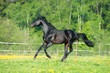 Bay horse runs gallop on the meadow