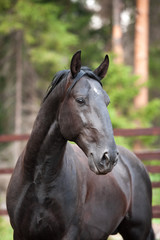 black Kladruber horse portrait in pines forest