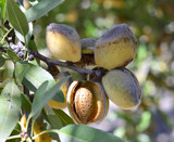 Fototapety Almonds on a branch.