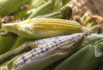 Sweet Corn and Indian Corn show seed  lay on pod corns.