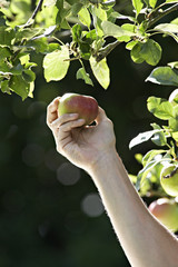 Man picking apple from tree in garden, close-up, side view