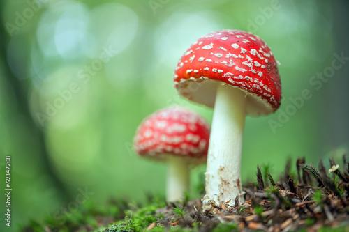 mushroom - 69342208