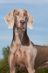 Purebred Dog Weimaraner