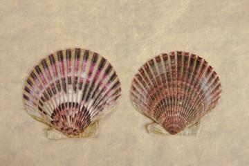 Two scallop shells.