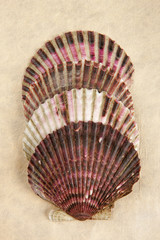 Four stacked scallop shells.