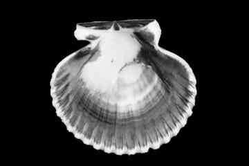 B&W of bivalve shell.