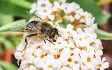A macro photo of a Hoverfly on a white Buddleja flower