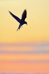 Common Tern in flight toward the sunset