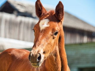 portrait of  little  chestnut foal.