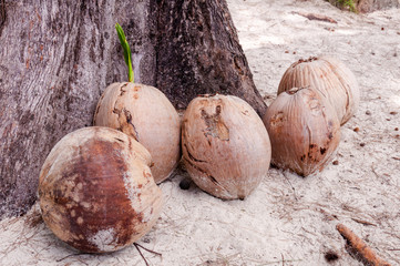 View of coconuts on sandy beach