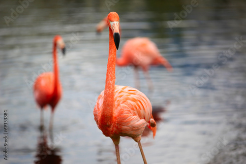 Staande foto Flamingo Carribean Flamingo