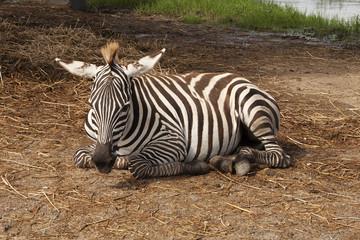 The african Zebra sleeping