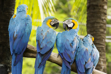 group of Macaws on the tree