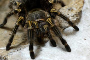 Tarantula big spider on web
