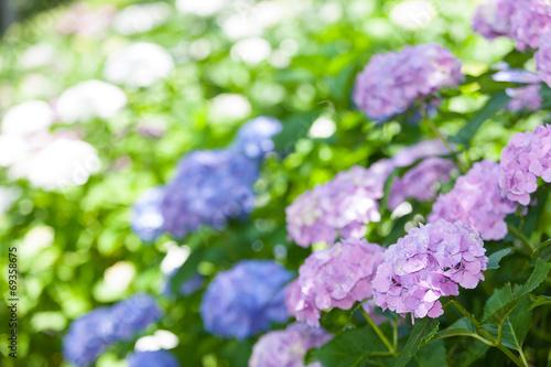 Foto op Canvas Hydrangea アジサイの花