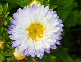 Close up of purple white daisy