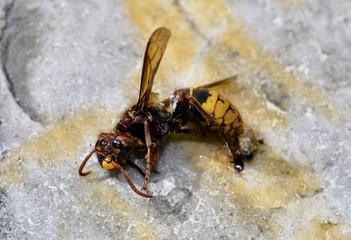Dead Hornet / Tote Hornisse
