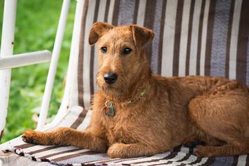 Red Irish terrier. Dog, pet