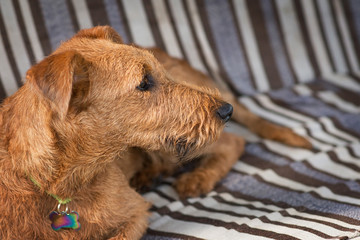 Red Irish terrier. Dog, pet