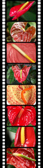 fleurs d'anthurium sur pellicule de film