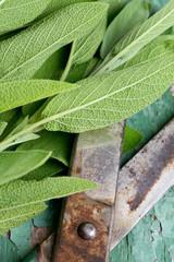 fresh sage on wooden surface