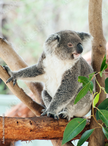 Foto Spatwand Koala Koala