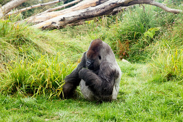 Male silver back gorilla eating green leafs