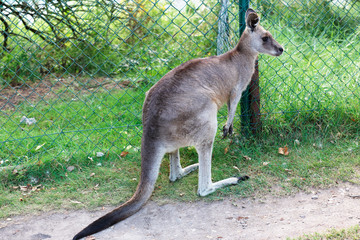 Eastern Grey Kangaroo inside an enclosure