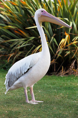 Great White Pelican is one of the largest flying birds in world