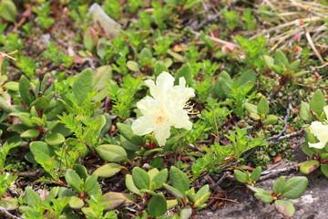 Yellow-flowered rhododendron (Rhododendron aureum) in Hokkaido,