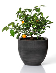 Young orange tree with a couple of oranges in a gray pot