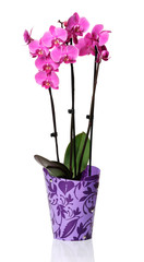A bunch of pink orchids in a plastic pot on a white background