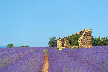 Old ruin in Lavender fields
