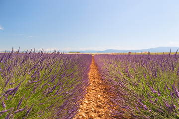 Landscape with lavender fields in France