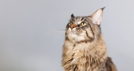Maine coon cat on gray looking up