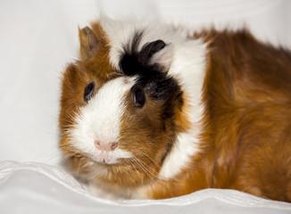 guinea pig, home pet portrait