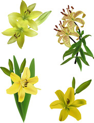 four yellow lily flowers isolated on white