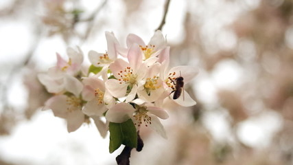 Bee on spring flowers. Apple tree blossom. Spring time.