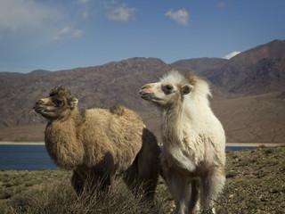 Two baby camel, Kyrgyzstan, Chui Valley