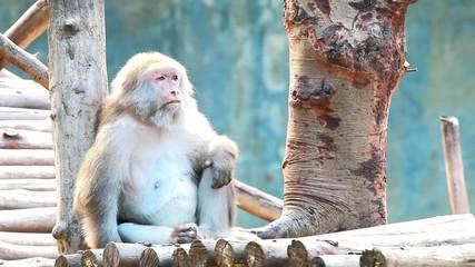 monkey in chiangmai zoo , chiangmai Thailand