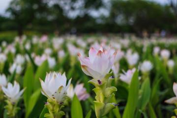 Tulip Thailand