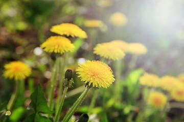 Dandelion flowers on a green meadow in the sunlight.