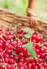 Red currants in basket.Organic berries.
