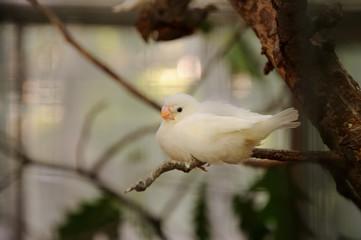 white amadina