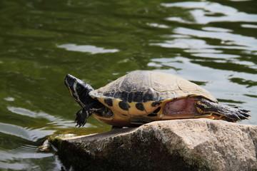 Gelbwangen-Schildkröte